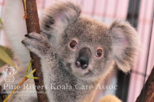 Pine_Rivers_Koala_Care