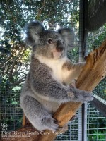 Pine_Rivers_Koala_Care1