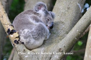 Pine_Rivers_Koala_Care11