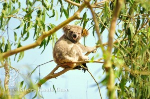 Pine_Rivers_Koala_Care12