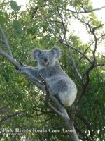 Pine_Rivers_Koala_Care13