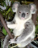 Pine_Rivers_Koala_Care18