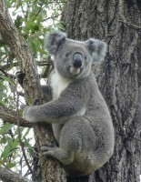 Pine_Rivers_Koala_Care19