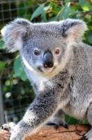 Pine_Rivers_Koala_Care21