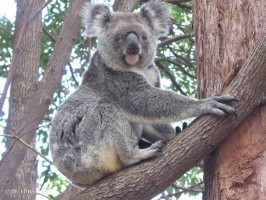 Pine_Rivers_Koala_Care22