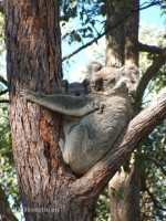 Pine_Rivers_Koala_Care23