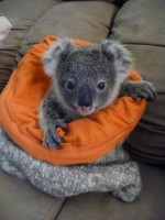 Pine_Rivers_Koala_Care26