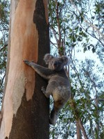 Pine_Rivers_Koala_Care27