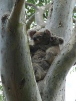 Pine_Rivers_Koala_Care28