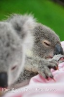Pine_Rivers_Koala_Care3