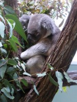 Pine_Rivers_Koala_Care35