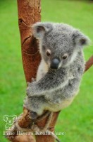Pine_Rivers_Koala_Care6