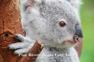 Pine_Rivers_Koala_Care9